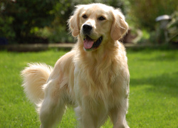 Golden retriever, Trawnik