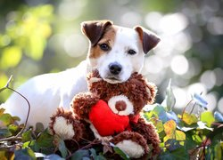 Jack Russell terrier z pluszowym misiem