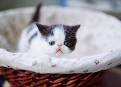 Biało Rudy Kot Rudy Kot Egzotyczny I Biały Kot Perski