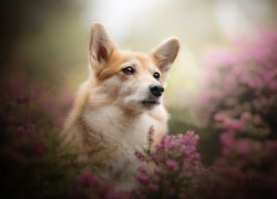 Welsh corgi pembroke we wrzosach