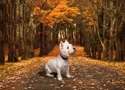 West highland white terrier na drodze
