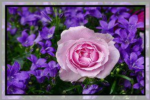 Kwiaty, Dzwonki, Różowa, Róża